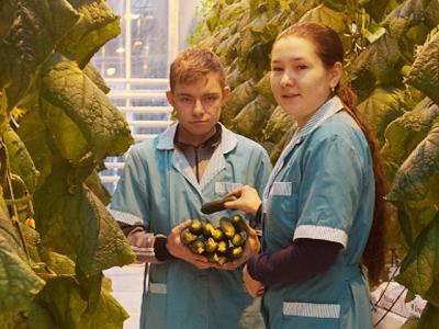 Фотография к материалу: В теплице сельхозколледжа Кунгура собирают зимний урожай огурцов