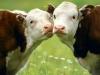 В Кунгурском районе коровы дают больше молока, чем прошлой весной