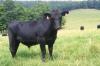 Венгерские коровы - на карантине в Кунгурском районе